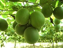 monk fruit NIkken Ciaga